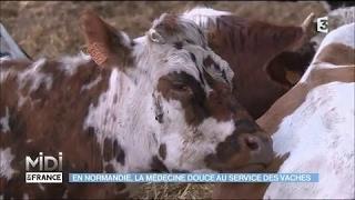 En Normandie, la médecine douce au service des vaches