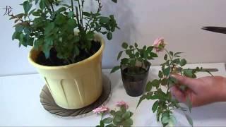 обрезка комнатной розы и размножение розы черенками(Уход за комнатной розой: как обрезать комнатную розу и подготовить черенки для размножения Все мои видео..., 2014-08-05T11:28:06.000Z)