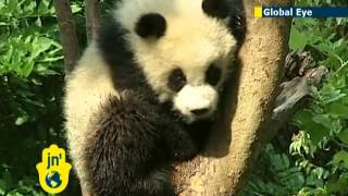Chinese giant pandas appear unaffected by recent earthquake