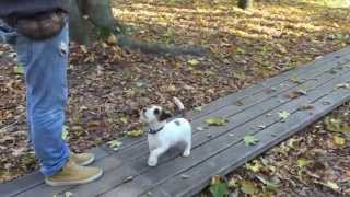 Jack Russell Terrier Basic Obedience Training