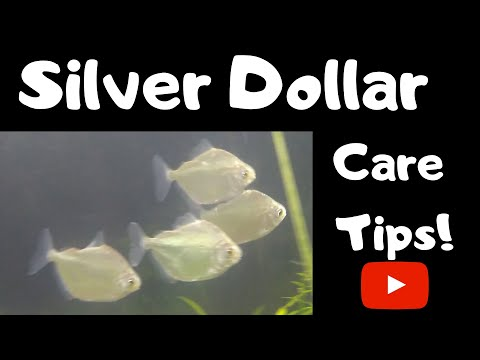 Silver Dollar Care Tips
