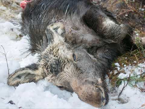 The Vermont Moose Study