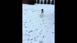 German Shorthair Dogs Play In The Snow