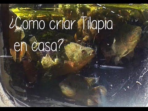 cria de mojarra tilapia en casa youtube