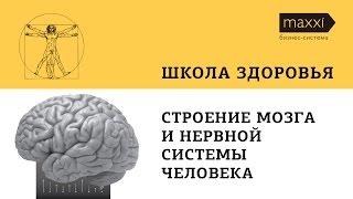 Cтроение мозга и нервной системы человека