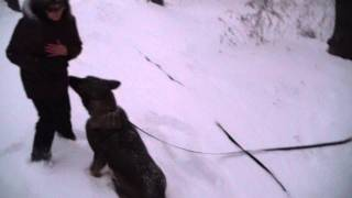 Дрессировка восточно-европейской овчарки. www.dogclass.ru