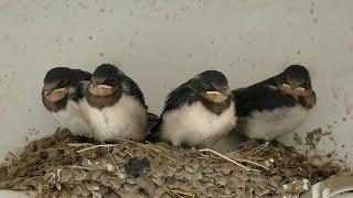 ツバメの巣の中が空になるまで配信します。 6/25時点での予想は、産卵開...