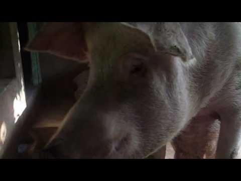 Mô hình chăn nuôi lợn tại Hà Nam