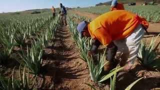 видео Алоэ выращивание