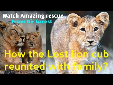 How the Lost lion cub reunited with family? Watch Amazing rescue operation At una near Gir forest