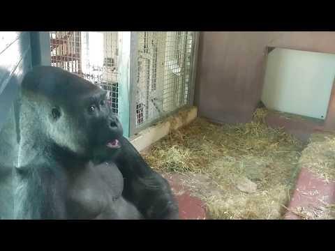 The Philadelphia Zoo's Silverback Gorilla Doesn't Care