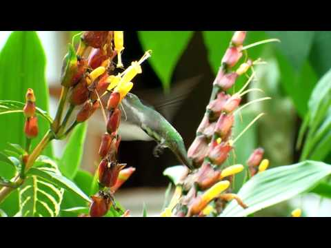 Mango Gorginegro -  Anthracothorax nigricollis