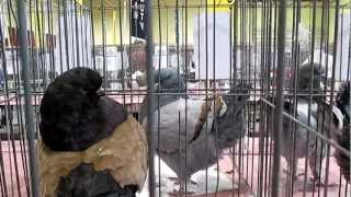 Modenas pigeons at Reading Pennsylvania show