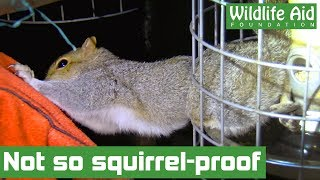 Squirrel trapped in