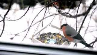 Итак, о птичках. Снегири - Bullfinches (Pyrrhula) - Nikon D5100 Full HD