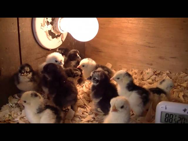 New Chick Brooder built from Scrap!
