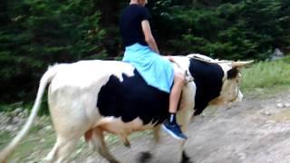 jahanje bika na Ravnoj planini.