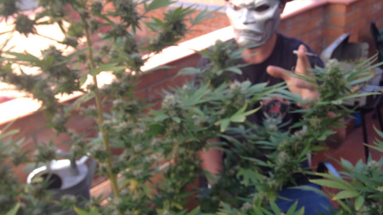 outdoor cannabis grow uk 2014. outdoor weed grow samurai show chesee uk marihuana de exterior cannabis 2014