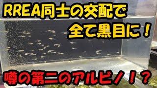 RREA×RREAから全て黒目個体が!第二のアルビノのお話!【大分グッピーFC】 アルビノ 検索動画 27
