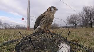 Kestrel Trapping 1-27-19