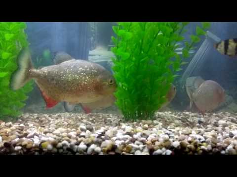 Piranhas With Tank Mates... Can It Be Done ?