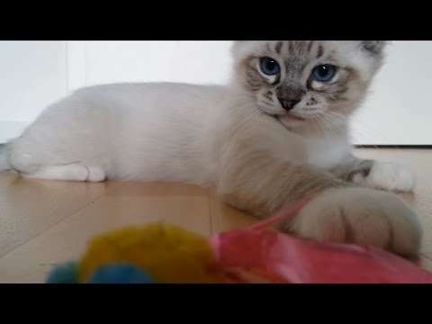 Ragdoll Kitten plays with toy - too cute