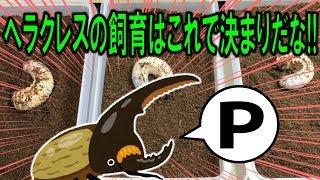 カブトムシ+クワガタ ヘラクレスオオカブトの幼虫に新鮮なエサを大量に...