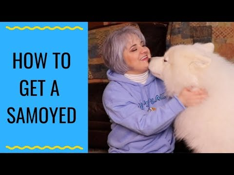 Tips And Tricks For Buying A Samoyed | Where Should I Buy A Samoyed