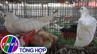THVL | Trở thành triệu phú nhờ nuôi bồ câu