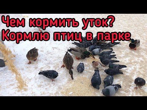Чем кормить уток? Кормлю птиц в городском парке