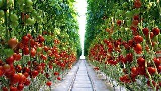 В Когалыме экологически чистые помидоры будут выращивать на кокосовой стружке