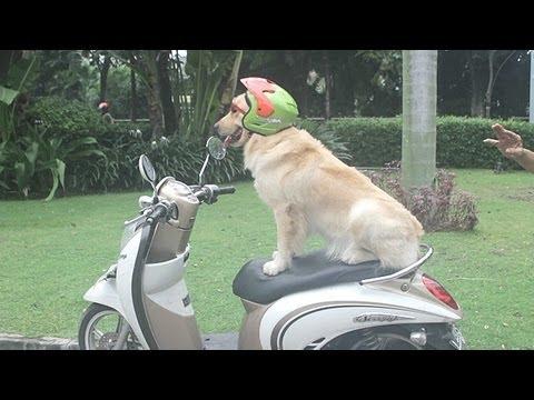 Chó đội mũ bảo hiểm lượn phố