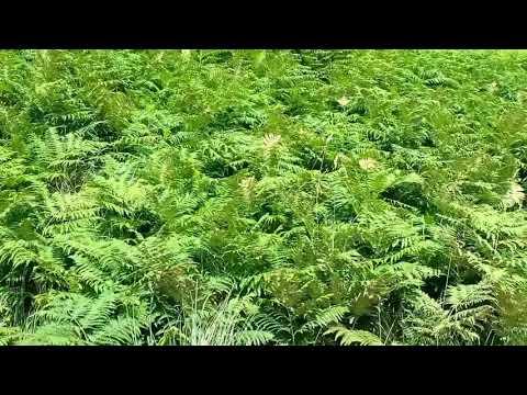 'Land of the Ferns' - a sand dune microhabitat