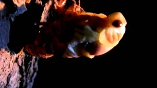 クマゼミの羽化の動画です。