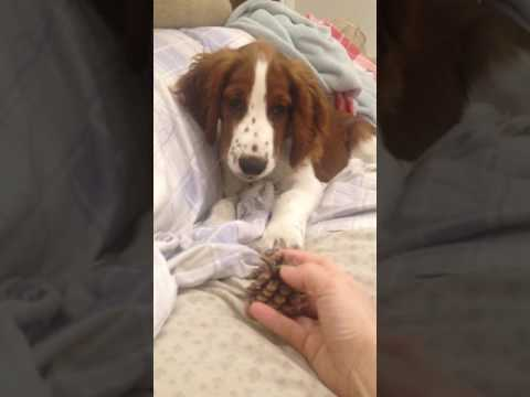 Welsh Springer spaniel pup 'Reef'- 18.5wks- 5/3/17- funny reaction