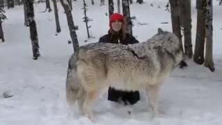 Волк - Животный мир - природа