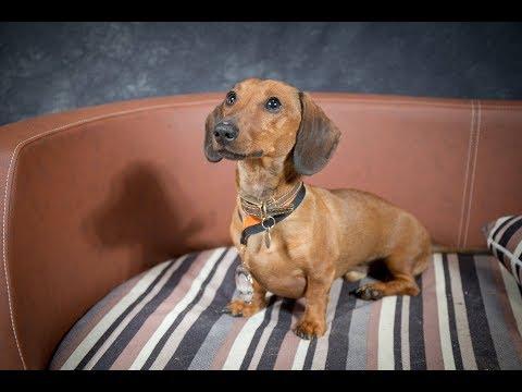 Dexter - Miniature Dachshund - 3 Weeks Residential Dog Training