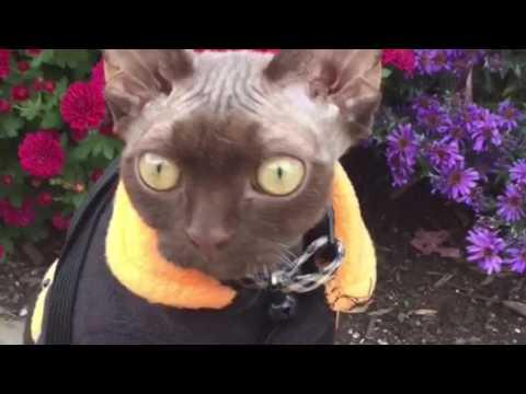 Dobby The Devon Rex Stars In 'Super Cat Tastic'