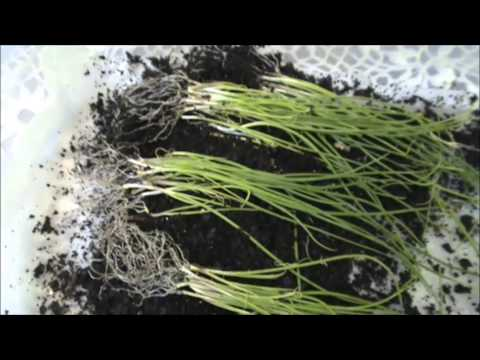 How to plant Red Onions.