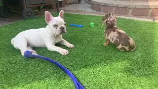 meet my new puppy! miniature dapple dachshund / sausage dog