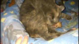 Первые роды шотландской вислоухой кошки