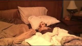 Puppy Sleeping Like a Human In Bed