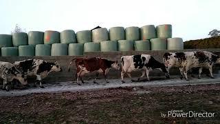 Chemin bétonné pour les vaches