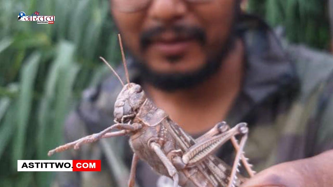 काठमाडौं देखिएको सलह किरा जसले देशको बिभिन्न जिल्लामा किसानको बाली यसरी नास गरिरहेको छ  Astittwo.com