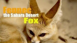 Fennec the Sahara Desert Fox