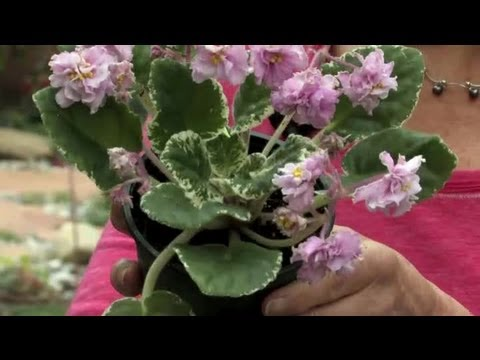 How to Trim Dead Blossoms From an African Violet : Gardening