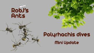 Where have they been? | Polyrhachis dives (weaver ants)