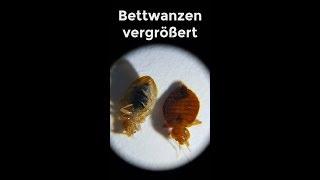 Teil 1   Bettwanzen, Bedbugs