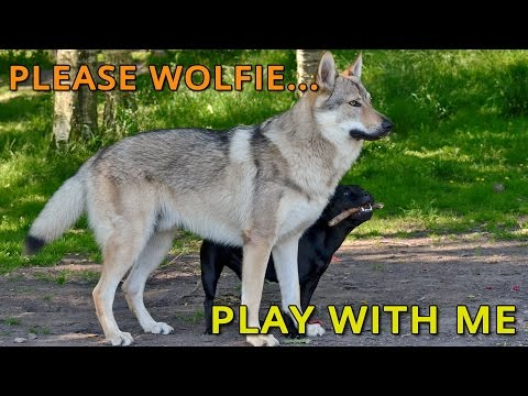 Czechoslovakian Wolfdog Lovec and Staffordshire Bull Terrier Amber, trying to get Lovec to play