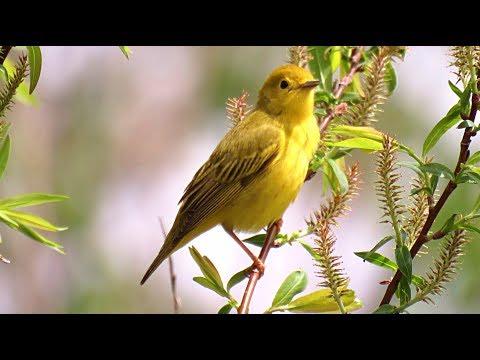 Oiseaux du Québec, chants et cris #2